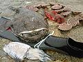 Pêche réalisée en chasse sous-marine, baudroie, rouget grondin, seiche et coquilles saint-jacques.jpg