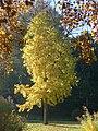 P1340169 Liquidambar styraciflua - Angers jardin des plantes.jpg