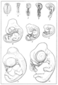 PSM V71 D217 Ten stages of the developing chick by franz keibel.png