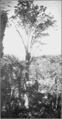 PSM V81 D426 The kauri at owharoa nz agathis australis.png