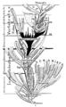 PSM V82 D428 Genealogical tree of the animal kingdom.png