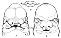 PSM V82 D438 Figures illustrating the growth of the human face.png