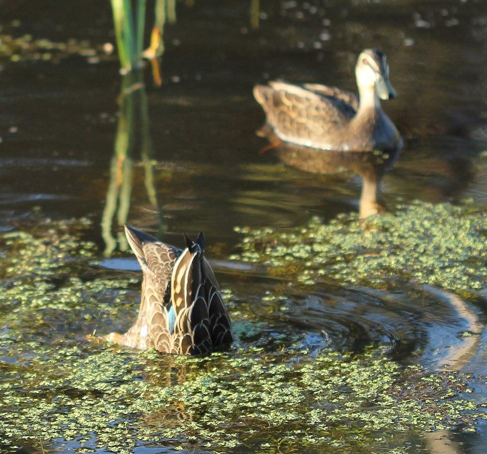 Pacific Black Ducks on pond ducking