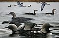 Pacific Loon From The Crossley ID Guide Eastern Birds.jpg