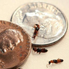 Paederus beetles with US penny and dime