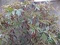 Paeonia suffruticosa Piazzo 02.jpg