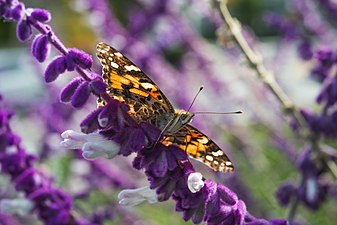 Painted Lady - Salvia.jpg