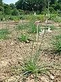 Pajecznica liliowata Anthericum lilago.jpg
