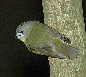 Tregellasia - Pale-yellow robin