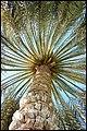 Palm tree - panoramio (3).jpg