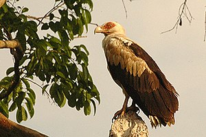 Accipitridae - Palm-nut vulture is an unusual frugivorous accipitrid, but will also consume fish, particularly dead fish
