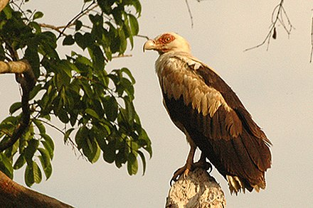 Palm-nut vulture is an unusual frugivorous accipitrid, but will also consume fish, particularly dead fish Palmnutvulture.jpg