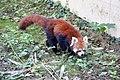 Panda roux (Zoo-Amiens)c.JPG