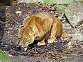 Panthera leo (Lion), Burgers zoo, Arnhem, the Netherlands.JPG