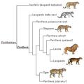 Panthera phylogeny (ita).png