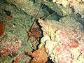 Panuliris cygnus Western rock lobster PC068914.JPG