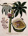 Papaw or papaya (Carica papaya); flowering branch, sectioned Wellcome V0044304.jpg