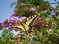 Papilio machaon on Buddleja davidii 001.jpg