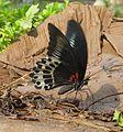 Papilio polymnestor Cramer, 1775 – Blue Mormon at Kottiyoor Wildlife Sacntuary (2).jpg
