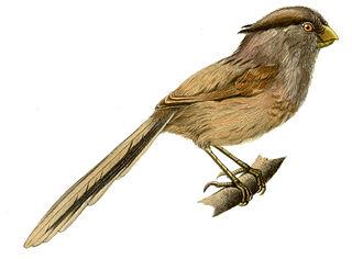 Reed parrotbill species of bird