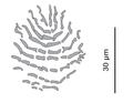 Parasite140133-fig2 Pseudorhabdosynochus regius (Diplectanidae) Squamodisc 2H.png