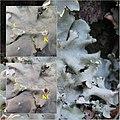 Parmotrema robustum group 202851.jpg