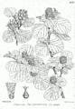 Parrotia jacquemontiana Bra28.png