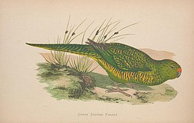 Parrots in captivity (Vol. 1. PL. 23) Green Ground Parrot (8514940791).jpg
