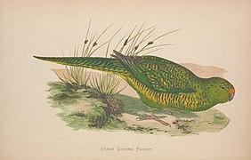 Parrots in captivity (Vol. 1. PL. 23) Green Ground Parrot (8514940791).jpg