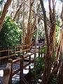 Pasarela en bosque de arrayanes.JPG