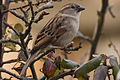 Passer domesticus -Leicestershire, England -female-8.jpg