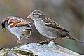 Passer domesticus Reifel Migratory Bird Sanctuary-15.jpg