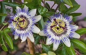 Passiflora caerulea - two flowers 2019-06-27.jpg