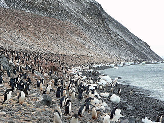 Paulet Island - Image: Paulet Island Adelie Pinguin Kolonie