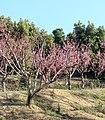 Peach Trees in Bloom, Fairmont Dr., Redlands, CA 3-2012 (6979590833).jpg