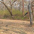 Peacock in flight.jpg