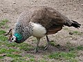 Peahen at Parsonage Farm, Bramshaw, New Forest - geograph.org.uk - 439293.jpg