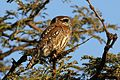Pearl-spotted Owlet, Glaucidium perlatum, at Pilanesberg National Park, Northwest Province, South Africa. (28027879970).jpg