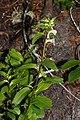 Pedicularis racemosa 0621.JPG