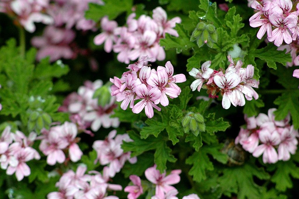 Pelargonium graveolens 2