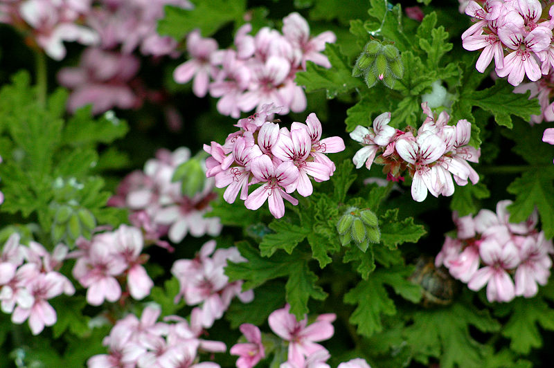 Ficheiro:Pelargonium graveolens 2.jpg