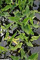 Peltandra virginica 3zz.jpg