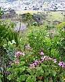 Peninsula Shale Fynbos - Table Mnt slope - CT.jpg