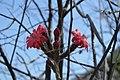 Peniocereus viperinus.jpg