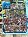 Penstemon watsonii ^ Aristolochia sempervirens - Flickr - peganum.jpg