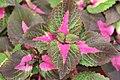 Perilla frutescens Magilla 4zz.jpg