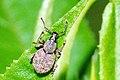 Peritelus.sphaeroides.jpg