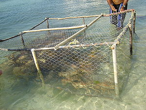 Spiny lobster - Fishing for Panulirus argus in Venezuela