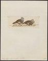 Petrophassa albipennis - 1820-1860 - Print - Iconographia Zoologica - Special Collections University of Amsterdam - UBA01 IZ15600259.tif