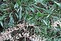 Pflanze an der Levada Nova, Madeira.jpg